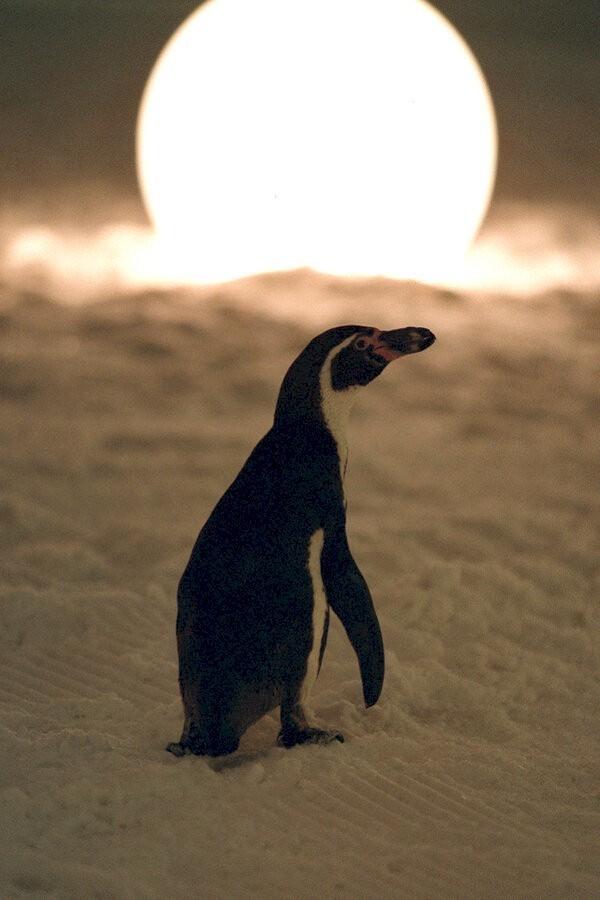 Amundsen de pinguïn