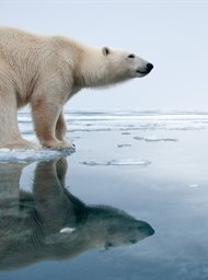 Polar Bear: Spy on the Ice image