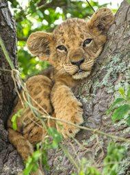 Tree climbing lions image