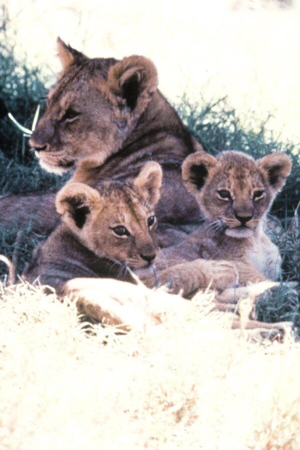 The African Lion image