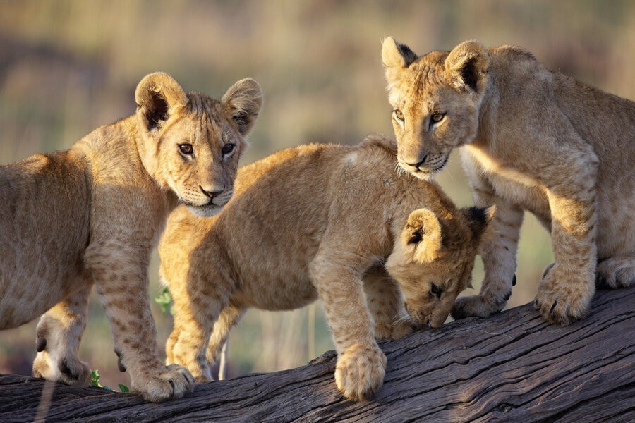 African Cats image