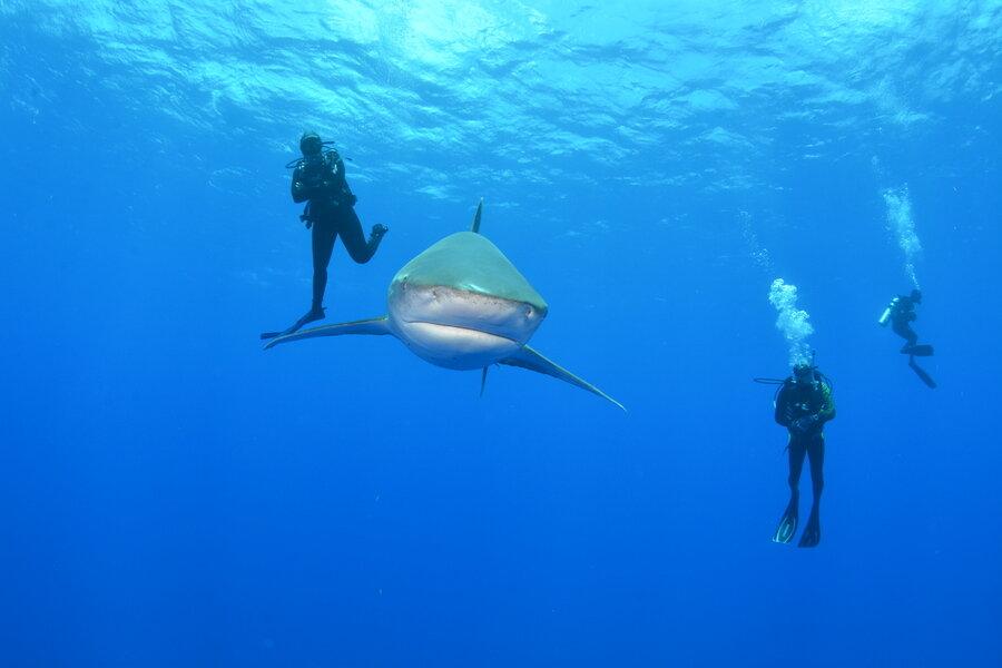 Deadliest shark image