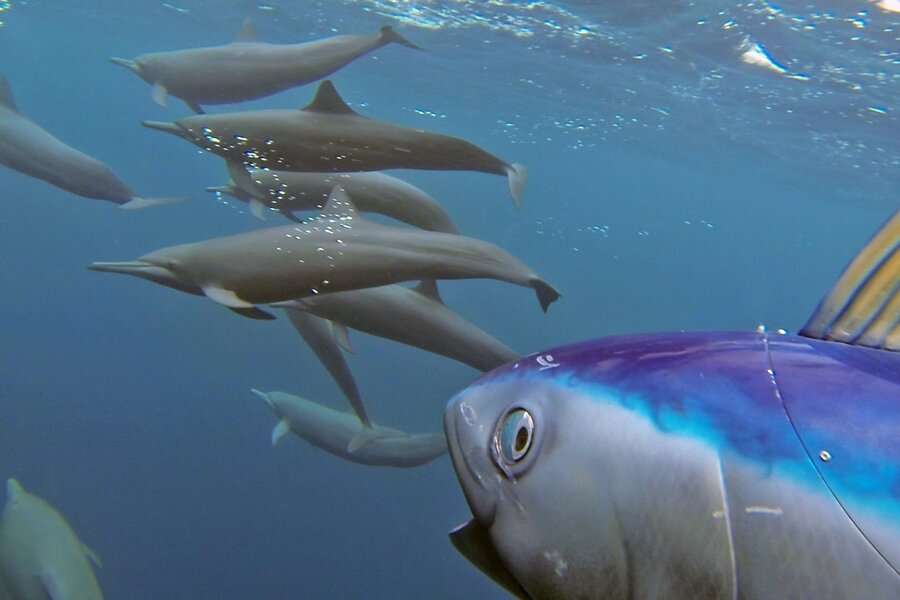 Dolphins, spy in the pod image