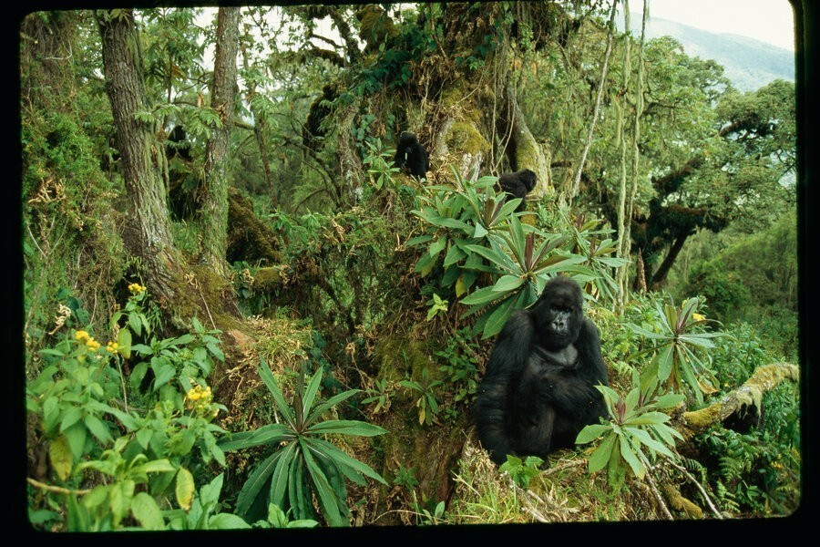 Kingdom of the Apes: Battle Lines image