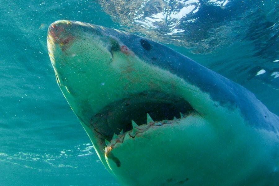 Return of the megashark image