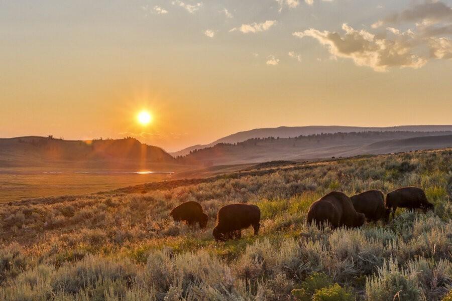 Wild Yellowstone image