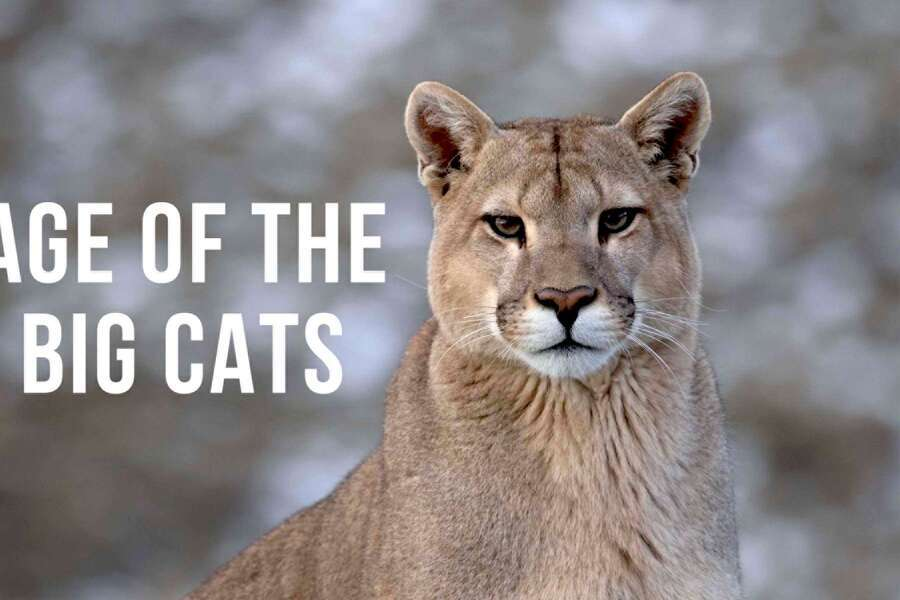 Age of the big cats image