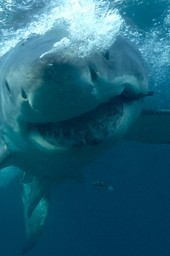 Wrath of a Great White Serial Killer