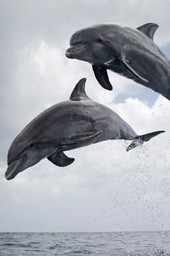 Dolphins, spy in the pod