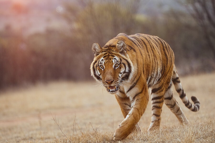 Tigerland image