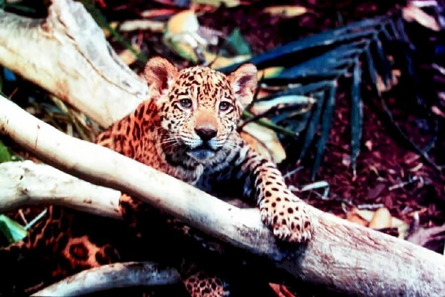 Jungle Cat image