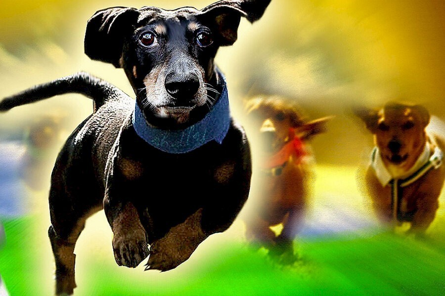 Wiener Dog Nationals image