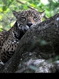 Jaguars: Brazils super cats