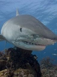 Tiger shark beach