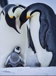 Snow Chick: A Penguin's Tale